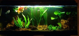 acquario pesce rosso