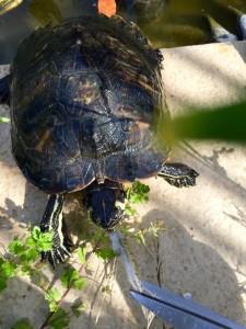 tartarughe pasto