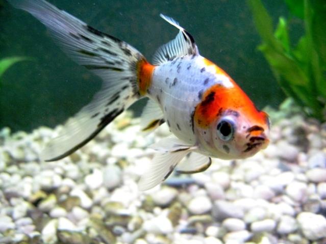 Pesce rosso molto pi di una semplice boccia lacooltura for Pesce rosso razza