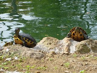 Tartarughe domestiche quello che si deve sapere for Laghetto tartarughe inverno