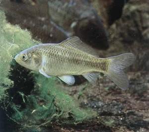 pesce rosso ancestrale