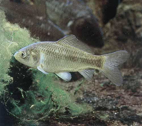 Pesce rosso molto pi di una semplice boccia lacooltura for Uova di pesce rosso