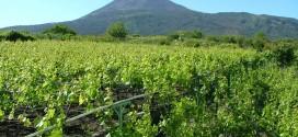 Lacryma Christi: la leggenda del vino