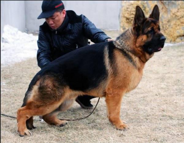 razze canine