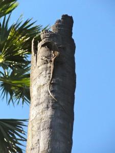 Giovane drago di Komodo su albero