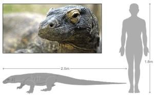 dimensioni drago di Komodo