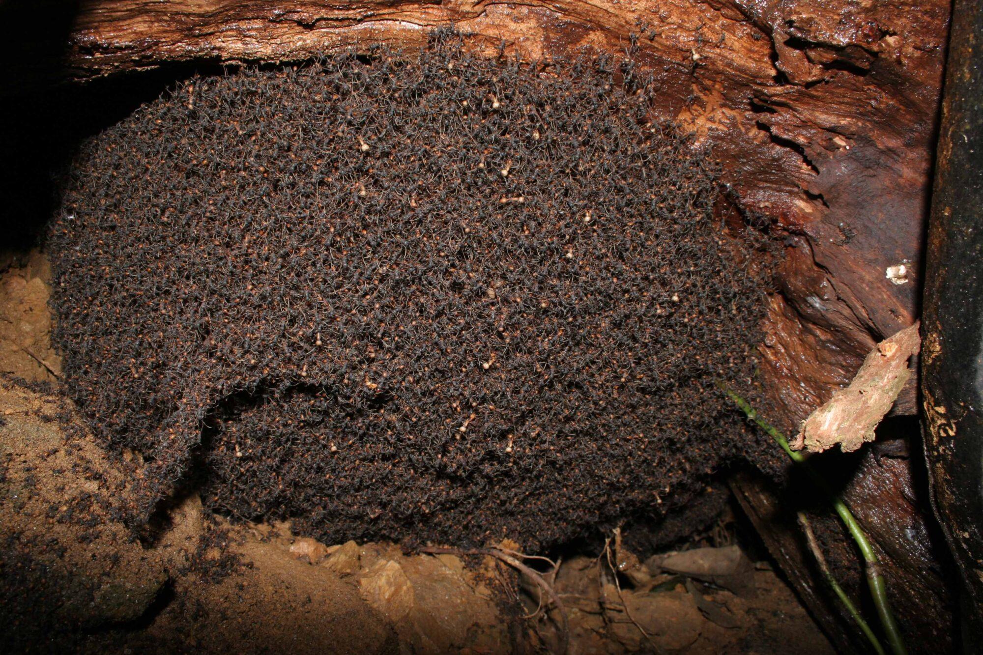 Formica legionario l 39 insetto 39 predatore 39 lacooltura for Debellare formiche