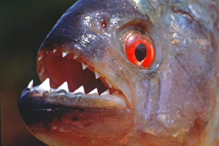 Risultati immagini per pesci piranha