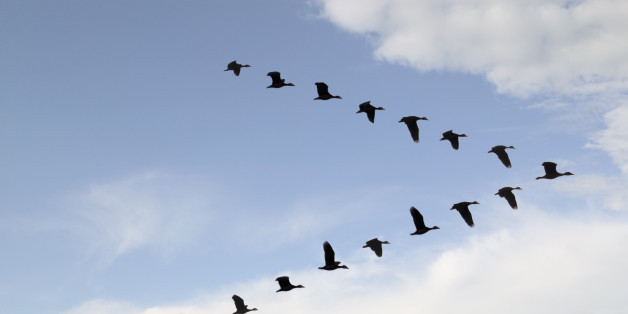 Lo stormo e la mentalità collettiva degli uccelli - laCOOLtura  Flock