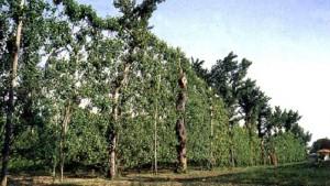 Alberata per coltivazione Asprino