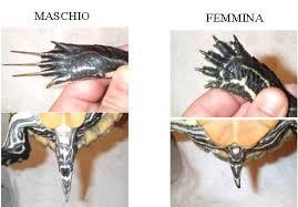 tartarughe domestiche maschio femmina