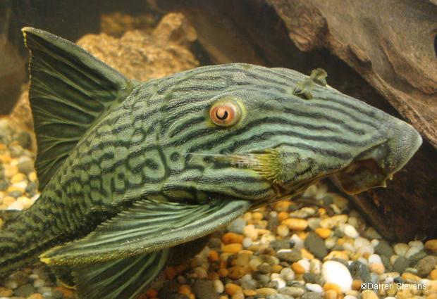 pesci pulitori