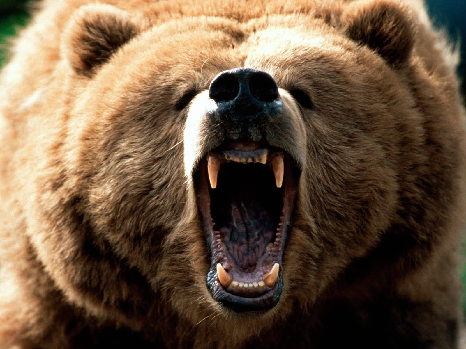 Grizzly maschio