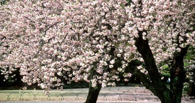 Il giardino dei ciliegi 28 images il giardino dei ciliegi la