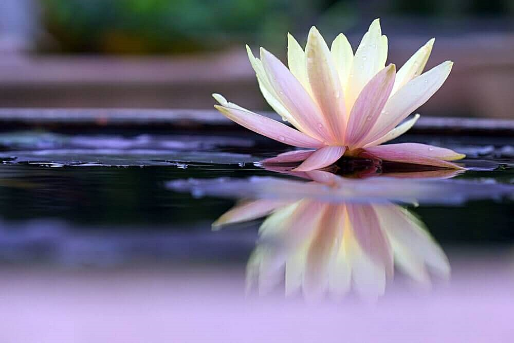 Loto: il fiore mistico della consapevolezza - laCOOLtura