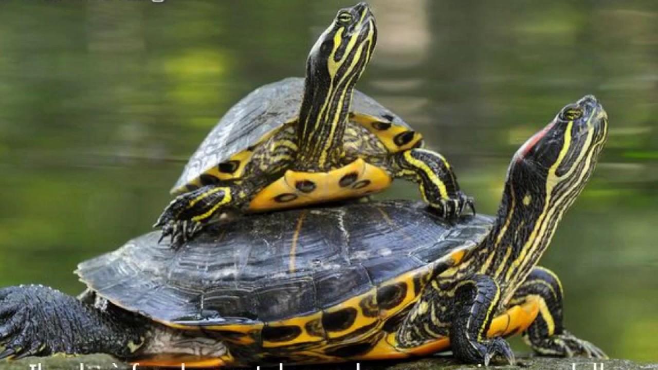 tartarughe domestiche tutto quello che dovreste sapere