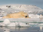 Orso polare intento a riposarsi
