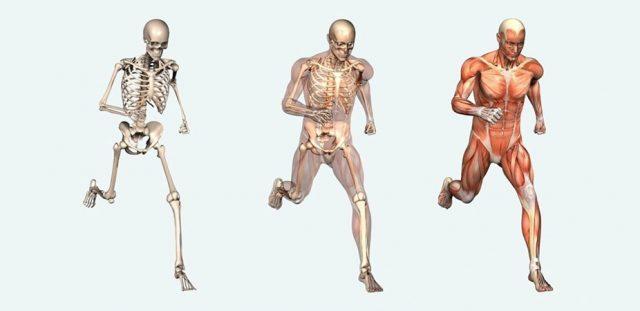 apparato scheletrico