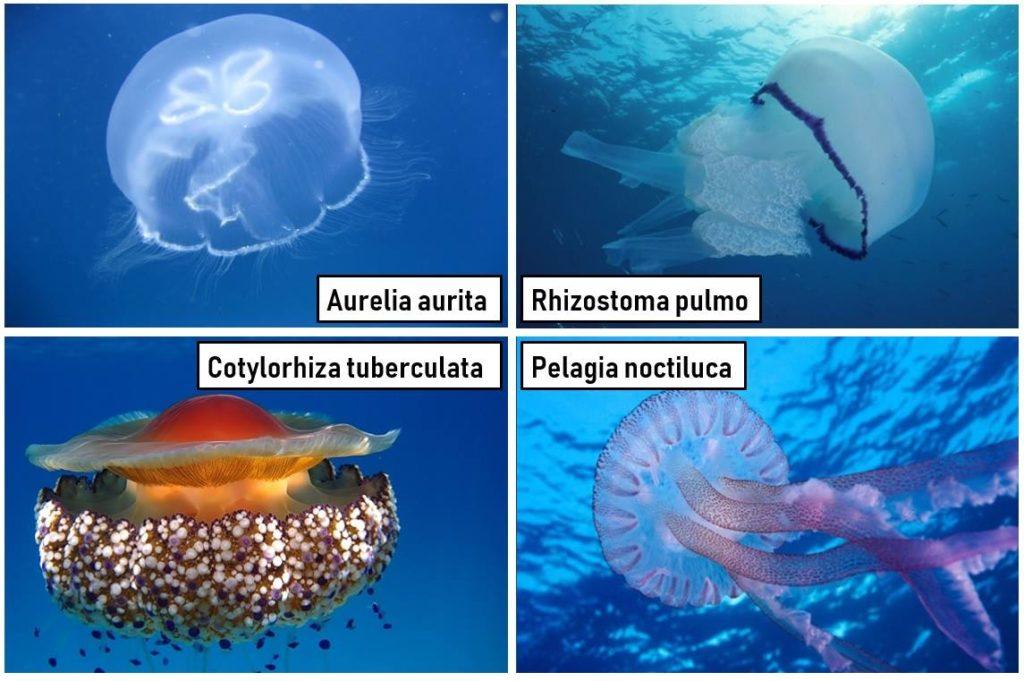 meduse del mediterraneo