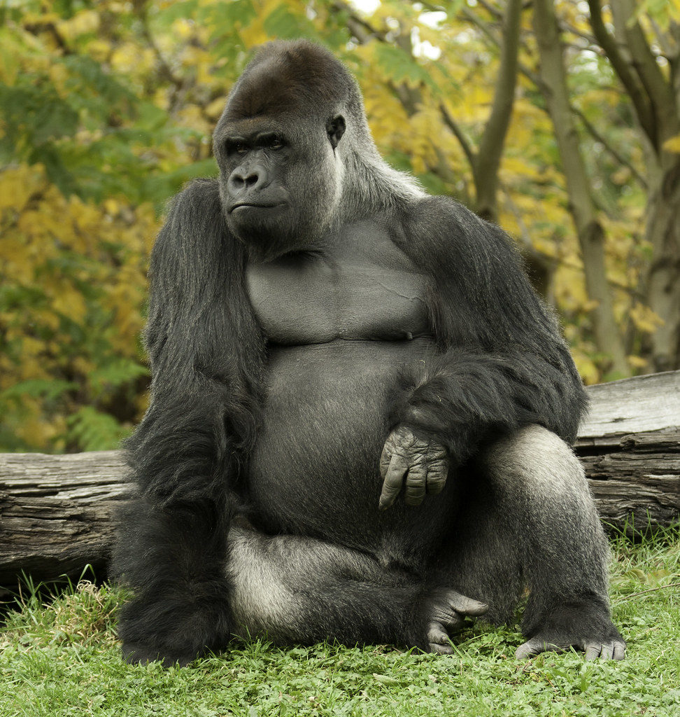 esemplare di gorilla da confrontare con quello di scimpanzé, presente nell'immagine successiva