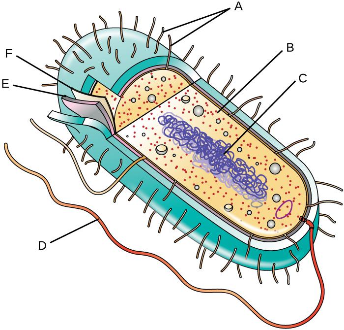 immagine di una cellula procariote
