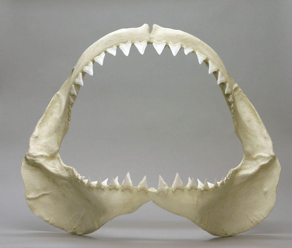mascella di squalo bianco